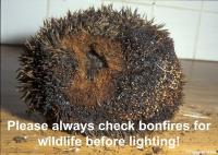 Bonfire Hedgehog